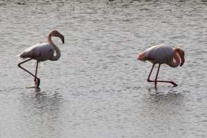 Flamingos in Kalloni
