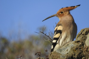 A young hoopoe