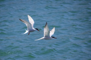 Common Terns Sterna hirundo
